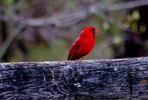 red male cardinal sitting on wooden beam of a fence
