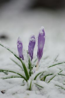 Crocuses_in_the_snow_(8504467548)